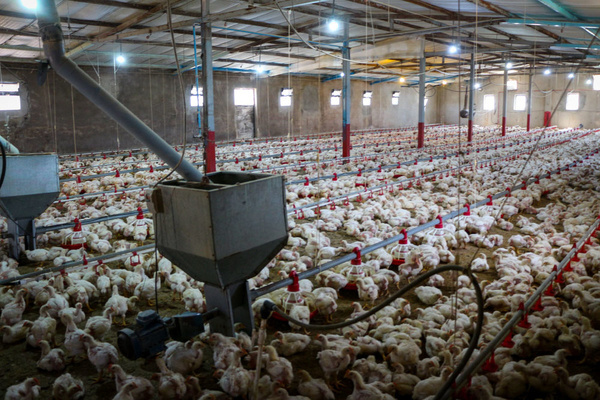 تلف شدن بیش از ۱۵ هزار قطعه مرغ گوشتی در هرمزگان