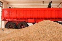92 هزار تن گندم از کشاورزان استان اصفهان خریداری شد