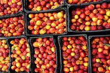 تولید بیش از 46 هزار تن شلیل در باغات آذربایجان غربی