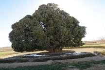 سرو ابرکوه درختی که پس از 4500 سال همچنان سرسبز و خرم است
