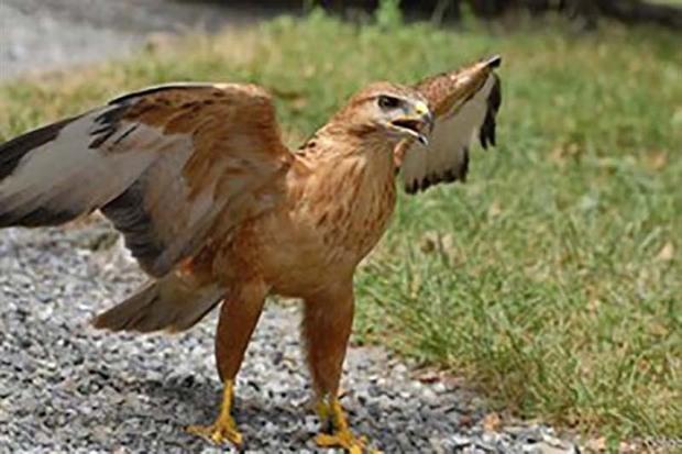 شکارچی عقاب در بویین زهرا دستگیر شد