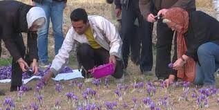 گردشگران ایتالیایی با نحوه برداشت زعفران در گناباد آشنا شدند