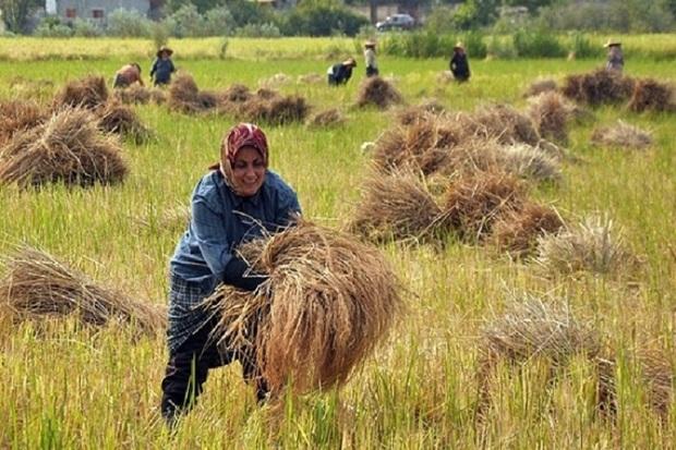 برنج 30 درصد شالیزارهای آستارا برداشت شد