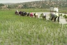 کشت برنج در کهگیلویه و بویراحمد کاهش یافت