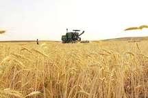 برداشت گندم و جو از زمینهای کشاورزی زاهدان آغاز شد