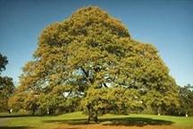 با پیگیری منابع طبیعی از قطع 6 هزار و پانصد درخت بلوط جلوگیری شد