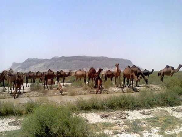واکسیناسیون 800 نفر شتر علیه بیماری شاربن  وجود 30 هزار نفر شتر در خراسان جنوبی