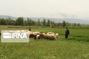 دامداری سنتی قربانی رونق کشاورزی در مازندران