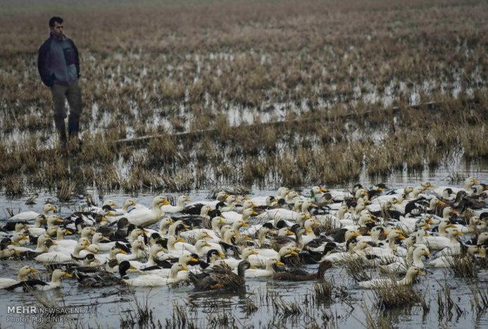 گزارش تصویری از پرورش اردک شالیزاری و حال و هوای باصفای آن