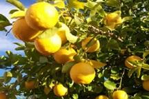 تولید لیموترش در باشت افزایش یافت