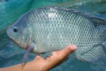 ماهی تیلاپیا در قم پرورش می یابد