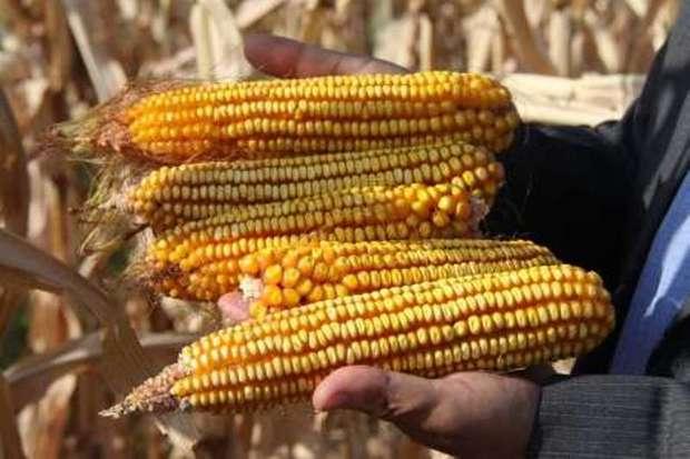 بیش از 32 هزار تن ذرت از مزارع سرپل ذهاب برداشت شد