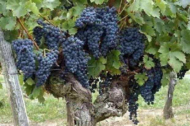 رکورد تولید انگور سیاه از باغات دیم با 45 تن در هکتار شکست