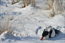 یخزدن تالابهای بینالمللی در چهارمحال وبختیاری  تهدید زیستی80 هزارپرنده آبزی