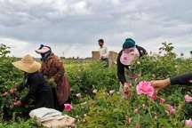 برداشت گل محمدی از 320 هکتار باغات گل در خراسان رضوی