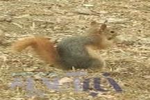 رها سازی یک بطانه سنجاب در جنگلهای بلوط دلفان