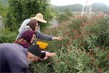 گرمی به عنوان شهر گیاهان دارویی معرفی شود