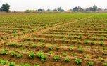 ساخت دستگاه نشا کار انواع سبزی و صیفی در کشور