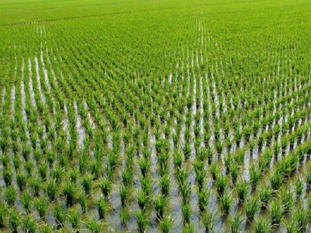 استقبال اندک کشاورزان قائمشهری از آب سد البرز با وجود کم آبی