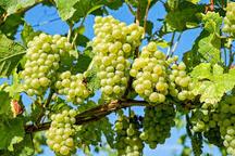 احداث نخستین کلکسیون باغ مادری ژنتیکی ارقام انگور در شهرستان ابهر