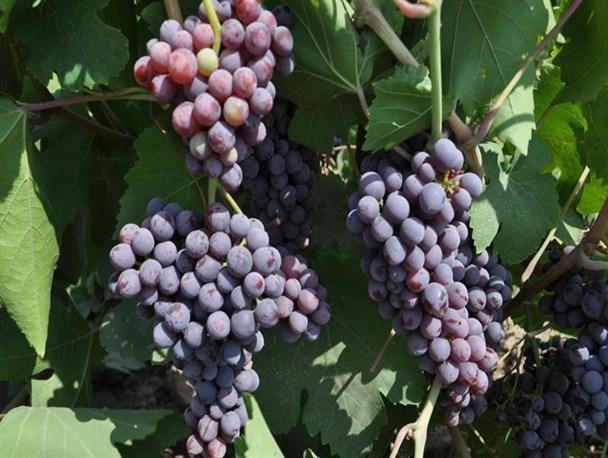 عملیات اجرایی نخستین گلخانه کشت انگور کشور در کبودراهنگ آغاز شد