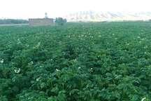 کشت سیب زمینی در 60 هکتار از اراضی کشاورزی سردشت