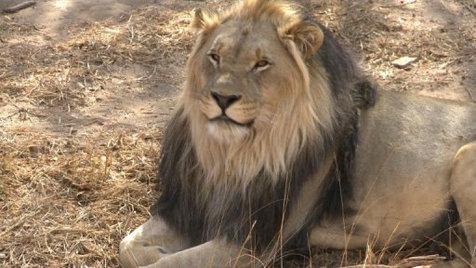 بازگشت شیرها به «روآندا» پس از دو دهه