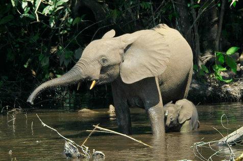 کاهش نرخ زاد و ولد در فیلهای جنگلی آفریقایی