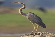 رهاسازی پرنده کمیاب 'حواصیل ارغوانی' در تالاب گندمان