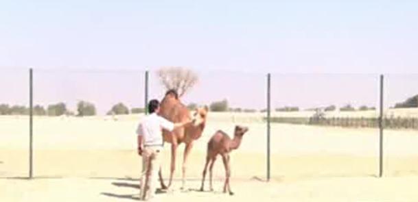 فیلم / تولد نوزاد نخستین شتر شبیه سازی جهان