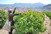 100 تن گل محمدی در خواف برداشت شد