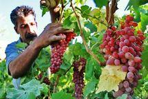 تولید انگور در دره شهر 35 درصد کاهش یافت