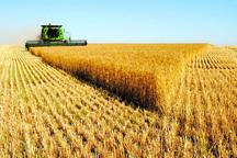 تولید گندم در زنجان 24 درصد رشد دارد