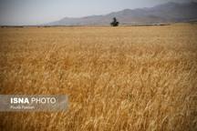 پیشبینی تولید 800 هزار تن گندم در آذربایجان شرقی در سال زراعی جاری