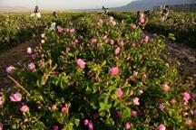 امسال 180 تن گل محمدی در خوی تولید می شود