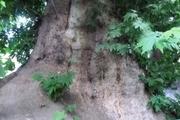 درختان ۵۰۰ و ۳۰۰ ساله دامغان در میراث طبیعی کشور ثبت شد