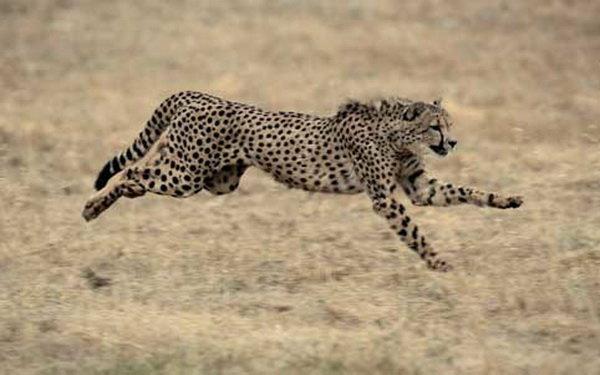 جمعیت یوزپلنگ های ماده در یزد کاهش داشته است