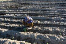 آغاز کشت محصولات بهاره در آذربایجان غربی