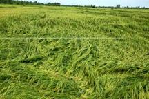 بارندگی 266 میلیارد ریال به مزارع دزفول خسارت زد
