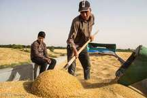 گندم با قیمت تضمینی 13 هزار ریال از کشاورزان قزوینی خریداری می شود