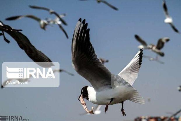 پرندگان مهاجر در آبگیرهای کهگیلویه و بویراحمد فرود آمدند