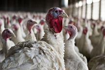 زنجان دومین استان تولید کننده گوشت بوقلمون در کشور