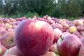 سیب درختی؛ مزیت اقتصادی اما پُر آب بَر آذربایجان غربی