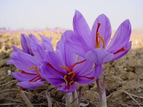 چگونه بدانیم زعفران اصل است؟
