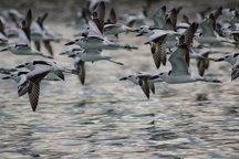 فرود هزاران پرنده مهاجر به تالاب استیل آستارا