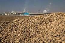 خرید بیش از یک میلیون و 600 هزار تن چغندرقند در آذربایجان غربی