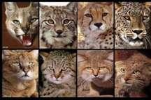 وجود سه گونه از گربه سانان طبیعت ایران در زیستگاه های زنجان