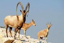 4800 حیوان در منطقه مراکان خوی سرشماری شد