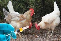 آغاز طرح واکسیناسیون طیور علیه بیماری نیوکاسل در مهاباد