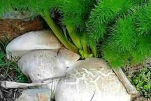 احتمال مسمومیت با مصرف قارچ کوهی، وجود دارد